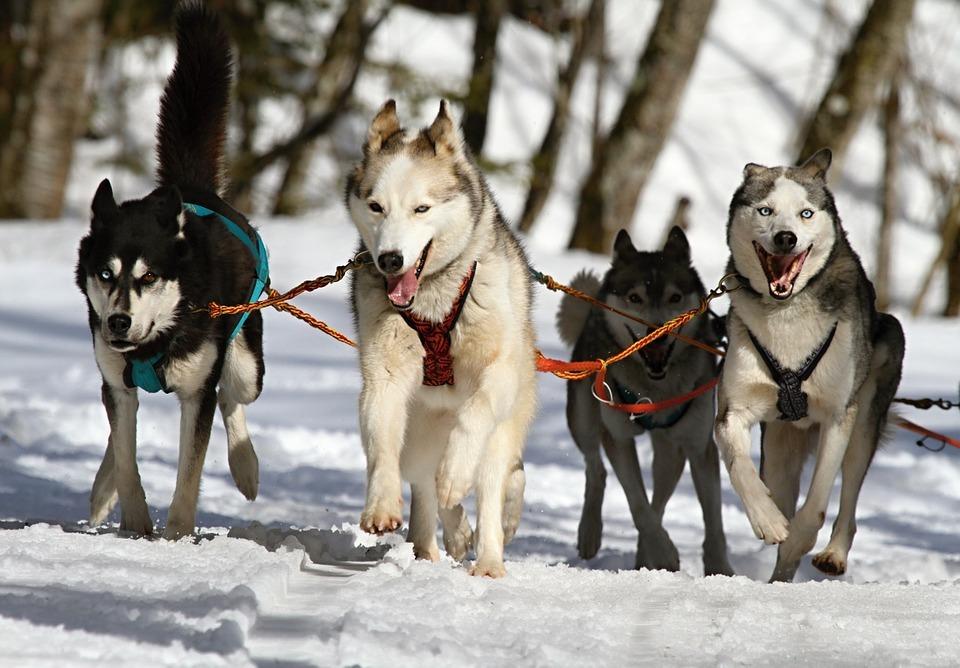 Huskies Running In Snow